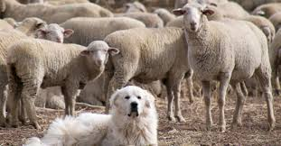 All Flocks Need a Sheep Dog — by Jackie Alnor
